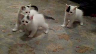 Shelale's Turkish Van Baby Kittens