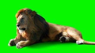 Lion Green Screen Video