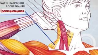Анатомия мышц Физиология мышц Как работают мышцы
