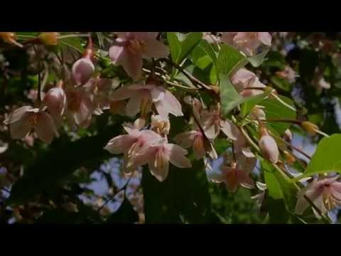 Styrax Japonica 'Pink Chimes' (Pink-flowered Snowbell Tree)