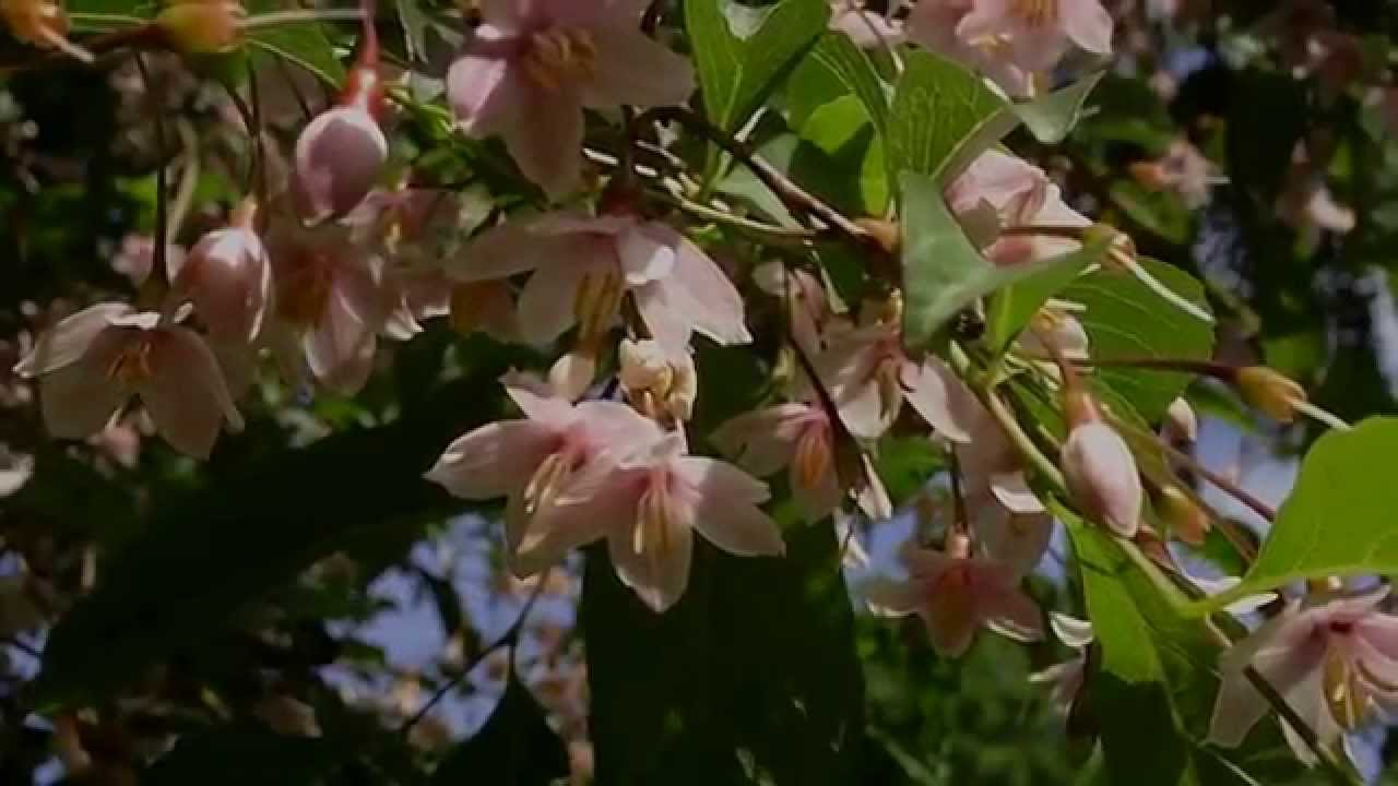 Styrax japonica pink chimes pink flowered snowbell tree youtube styrax japonica pink chimes pink flowered snowbell tree mightylinksfo