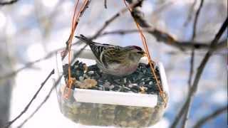 Итак, о птичках. Чечётка (сем. вьюрковых) - Redpoll (Fringillidae) - Nikon D5100 Full HD