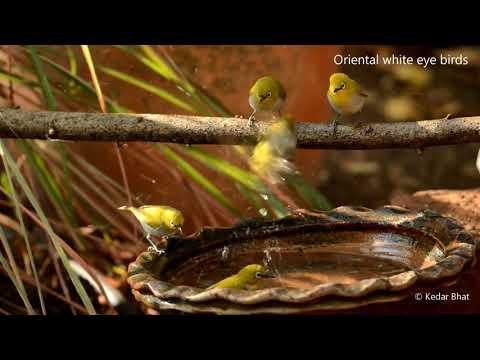 Oriental white eye birds at my bird bath