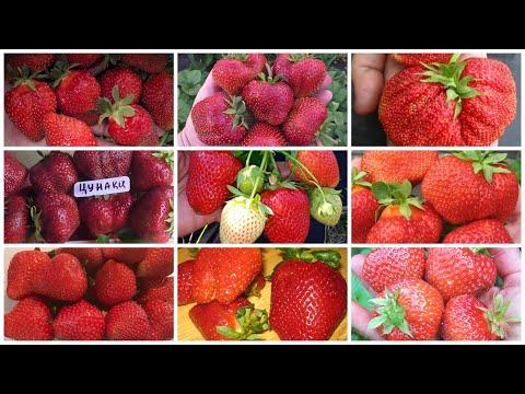 Открыт прием предзаказов на саженцы крупноплодной садовой земляники в контейнерах!