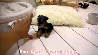 Amazing Vip Quality Extreme Micro Teacup Schnauzer Baby Available