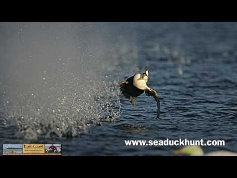 Sea Duck Hunting The East Coast -- Maine Eiders And Other Ducks !