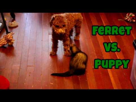 Ferret VS. Puppy - Cute Animals Inside 4 - VOL. 45
