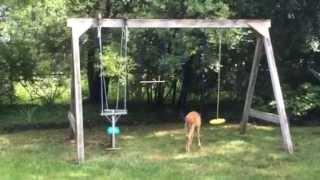 Adorable Baby Deer Plays On Swingset