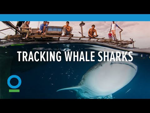 Tracking the World's Largest Fish, Whale Sharks | Conservation International (CI)