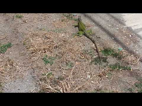 Iguana in the streets in Puerto Rico