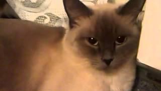 Порода кошки Бурма (похожа на сиамскую)