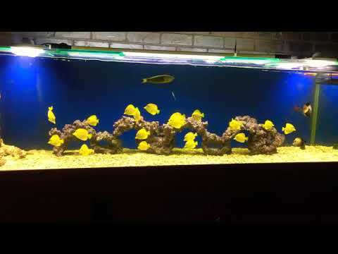 22 yellow tang colony from Hawaii in 1000L Saltwater Marine Aquarium Fish Tank