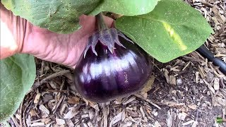 Pepper Grafted onto aฑ Eggplant, and September Eggplant Update