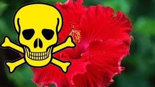 видео Прикмети: китайська троянда в будинку