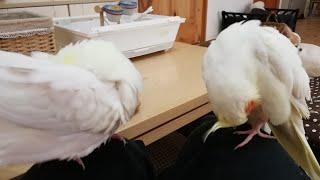 【ゆる】飼い主のお膝でくつろぎ中。。オカメインコ Cockatie parakeet thumbnail