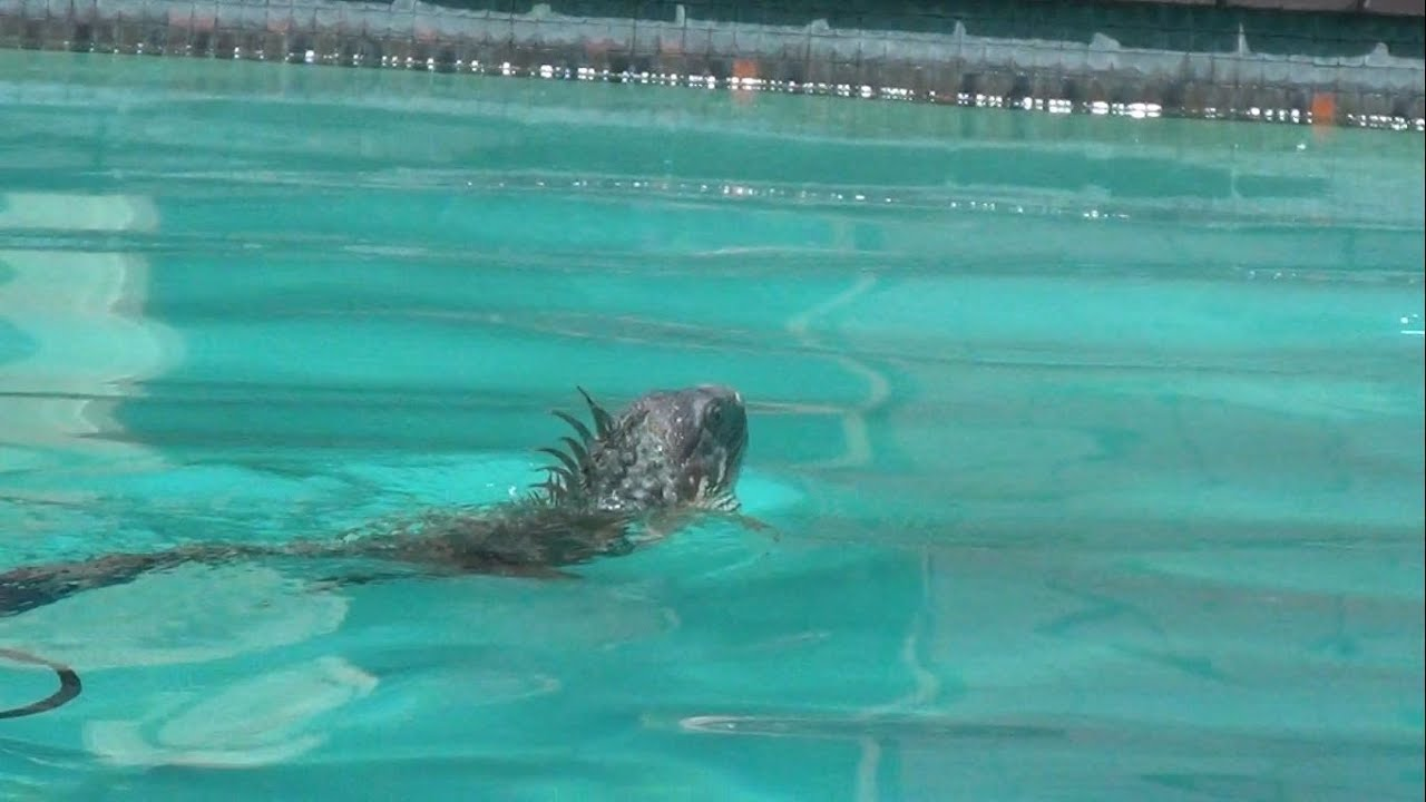 Iguanau0027s First Swim Ever In The Pool   Forest   YouTube Part 89