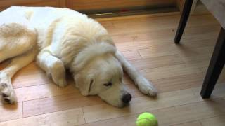 Luna the Great Pyrenees attacks a stink bug.
