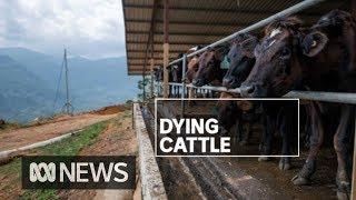 Mass deaths of Australian cattle in Sri Lanka | ABC News