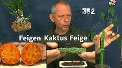 Feigenkaktus die Aussaat und Feigenkaktus Steckling einpflanzen