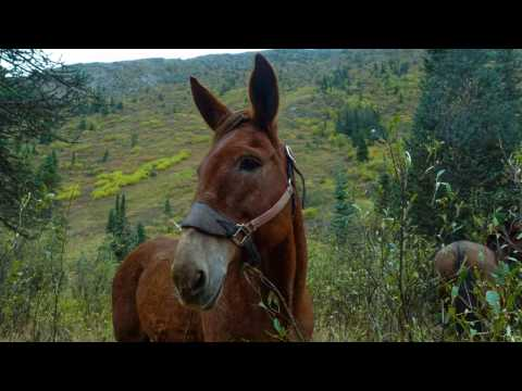 3 Week Hunting Trip on Mules in the Northern Rockies of BC.