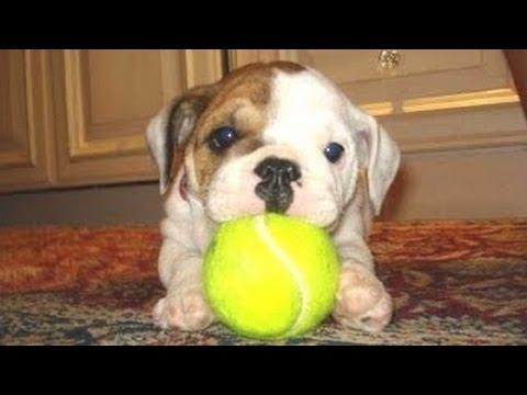 Videos De Risa De Perros Cachorritos Y Graciosos 🔴🔴🔴 Morirás De Risa 2018