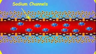 4. Axon Membrane Potential