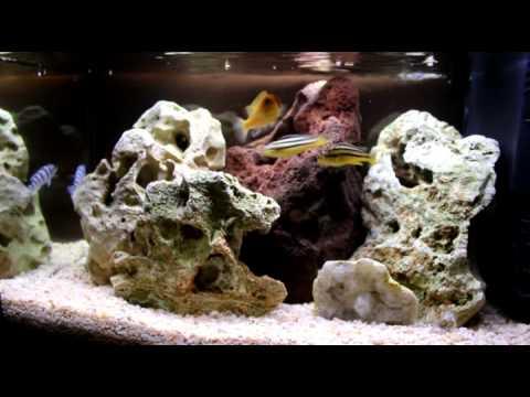 My malawi tank acquario con ciclidi africani youtube for Ciclidi africani