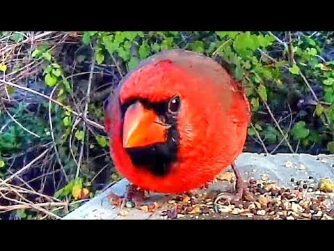 Angry Bird - Extreme Close Up of Male Northern Cardinal