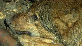Wilk uwięziony w starej studni w Arłamowie trafił do lecznicy