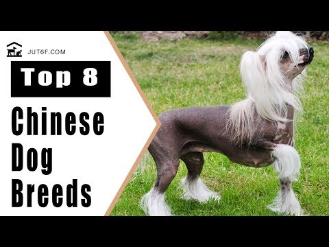 Top 8 Chinese Dog Breeds