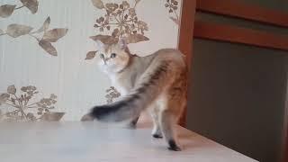 Котик британская золотая шиншилла BRI ny 25