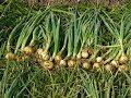 Урожай лука шалот,аликсандрийский,севок