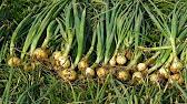 Купить посадочный картофель и лук-севок недорого в интернет-магазине оби. Выгодные цены. Доставка по москве, санкт-петербургу и россии.