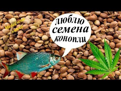 как приготовить для рыбалки конопляные семена