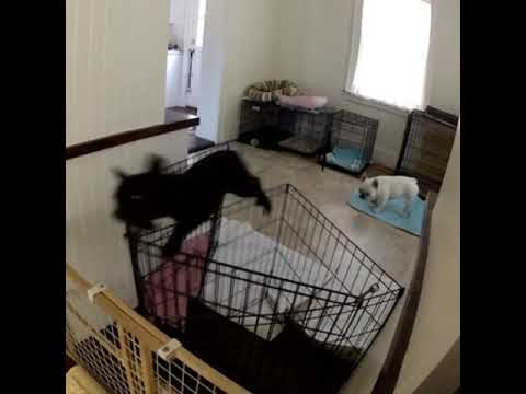 A.J. - Dog Escapes His Crate In A Very Humorous Manner!