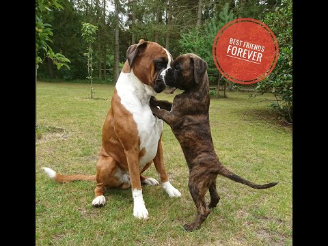 amazing!-boxer-rex-and-puppy-sammie-became-best-friends-instantly.-❤️