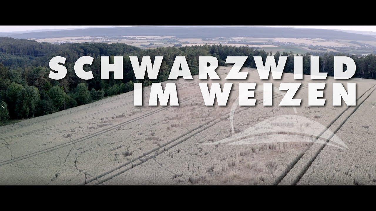 Download Schwarzwild im Weizen - ein Kurzfilm über mein Dokuprojekt zur Jagd