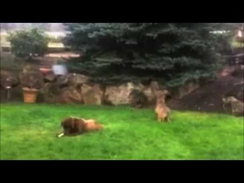 Coyote Stalks & Attacks Big Dog -- FUNNY!