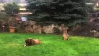 Coyote Stalks & Attacks Big Dog -- FUNNY!