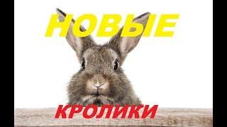 Новые племенные кролики.