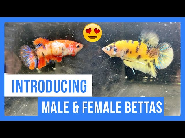 Introducing Male and Female betta!