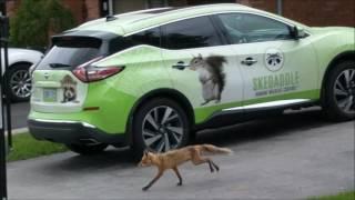 Fox in Ancaster