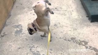 Funny Pug Pissing On Two Legs!