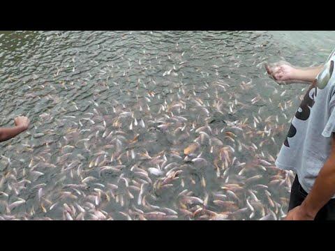 Cara Memberi Pakan Ikan Nila Dan Mas Di Kolam Om Boy Caringin Bogor Youtube