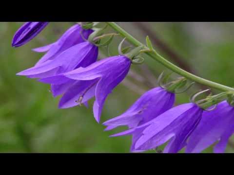 Gardening Tips : How to Grow Bellflower (Campanula)
