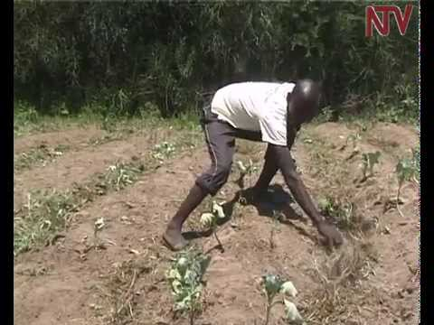 Climate change: Nakapiriprit farmers grapple with drought and failing crops