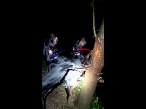 GRNITECH GRCH 'PR' Midnight Thunder Black Desire and NITECH GRCH 'PR' Blands Ozark Mtn Riz Treeing