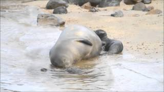 Hawaiian Monk Seal pup born at KeoKea beach