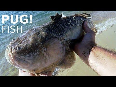 The PUG Fish / Stargazer - VENOMOUS ELECTRIC FISH - Fishing For PUGS / FLOUNDER / FLUKE