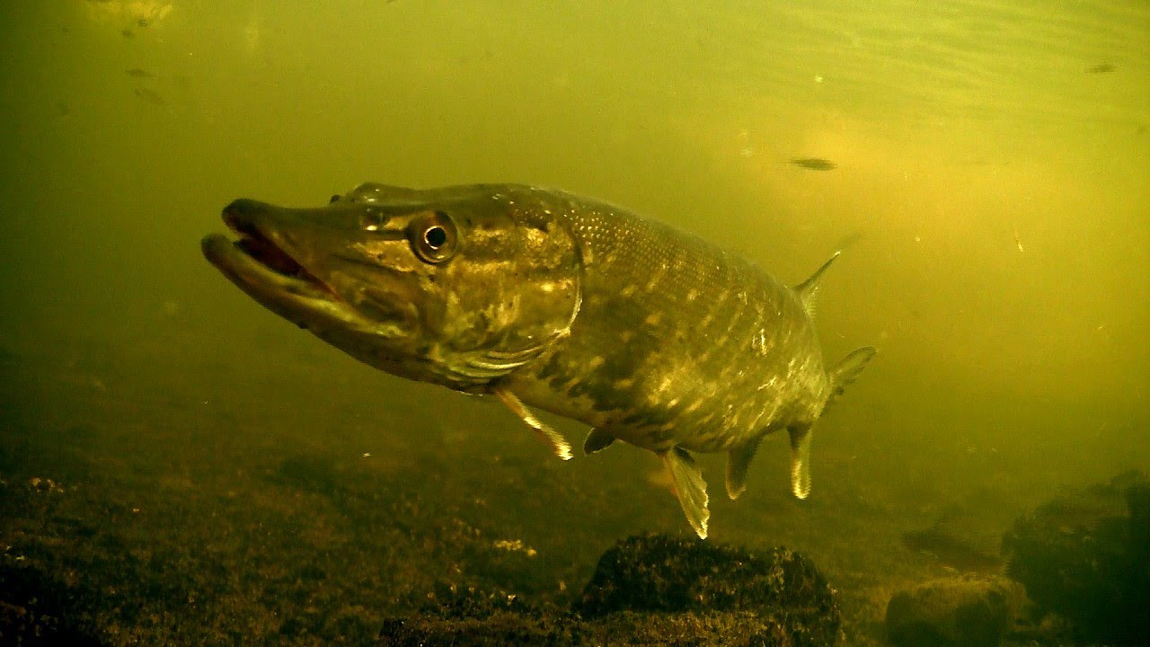 Perch Amp Pike Fishing Wt Lures Attacks Underwater Рыбалка